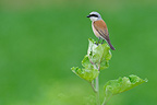Red-backed Shrike male Germany (Red-backed Shrike)