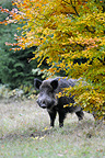 Eurasian Wild Boar in a clearing Germany (Wild boar)