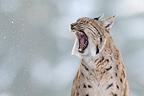 European Lynx yawning, National Park Bavarian Forest Germany