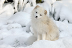 Arctic fox sitting on snow Germany (Arctic fox)