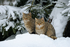 European Wild cats Bavarian Forest National Park Germany (Wildcat)