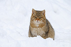 European Wild cat Bavarian Forest National Park Germany (Wildcat)