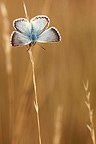 Blue butterfly on a twig Alsace France