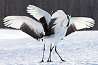 Manchurian cranes courting on the Island of Hokkaido Japan (Red-crowned crane)