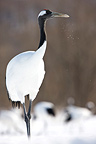 Red-crowned Crane in winter on the island of Hokkaido Japan (Red-crowned crane)