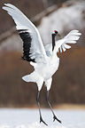 Red-crowned Crane in winter Island of Hokkaido Japan (Red-crowned crane)