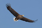 White-tailed Eagle flying Island of Hokkaido Japan (White-tailed Eagle)