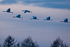 Red-crowned Cranes flying Island of Hokkaido Japan (Red-crowned crane)