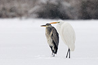 Grey heron and great egret in the snow Vosges France� (Grey heron; great egret)