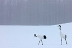 Red-crowned Cranes walking on the snow in winter Japan (Red-crowned crane)