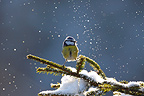 Blue tit on a branch covered with snow France (Blue tit)