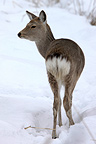 Sika Deer in the snow Kushiro-Shitsugen NP in winter Japan (Sika deer)