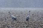Common Cranes in the snow  Wet Champagne France  (Common Crane)