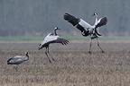 Common Cranes flying away in a field Wet Champagne France  (Common Crane)