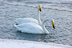 Whooper swans in winter sure the island of Hokkaido Japan (Whooper Swan)