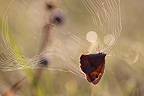 Meadow brown in a cobweb France