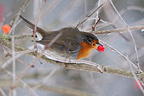 European Robin eating berries of Viburnum Guelder France  (European Robin)