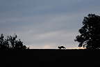 Silhouette of Red Fox at sunrise Vosges France� (Red fox)