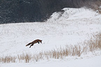 Red fox hunting in the snow Vosges France (Red fox)