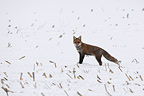 Red fox in the snow Vosges France (Red fox)