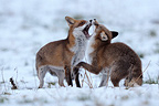 Red fox couple in the snow Vosges France (Red fox)