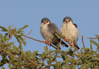 Young Pygmy falcons on a branch Sossusvlei Namibia (Pygmy Falcon)
