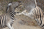 Burchell's zebras fighting Etosha NP Namibia (Burchell's zebra )