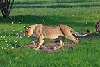 Lioness making flying butterflies South Africa (African lion)