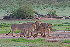 Group of Lions walking South Africa (African lion)