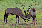 Face to face Gemsboks South Africa (Gemsbok)
