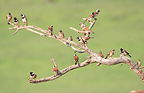 Cape sparrows on a dead tree South Africa (Cape Sparrow)