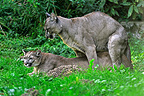 Coupling of Pumas in the grass� (Mountain lion )