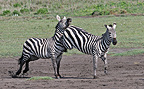Burchell's zebra hitting another one Tanzania (Burchell's zebra )