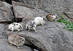 Semi-albino Rock dassies on a rock Tanzania (Rock Dassie )