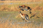 Black Lechwes jumping and running Kwa� river Botswana (Black Lechwe)