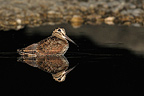 Eurasian Woodcock bathing in a puddle at night (Eurasian Woodcock)