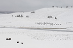 Bison Herd in Snow Yellowstone NP Wyoming USA (American Bison)