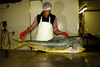 Mahimahi placed in cold storage for the local market (Common Dolphinfish)