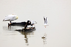 Dalmatian Pelican and Black-headed Gull Lake Kerkini Greece (Dalmatian Pelican; Black-headed Gull)