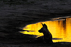 Lycaon (African wild dog) alpha male sitting at sunset Botswana  (African wild dog)