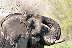 Elephant taking a mud bath Botswana (African elephant)