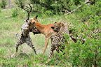 Three Cheetahs killing an Impala hunting in Botswana (Cheetah)