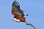 African Fish-eagle flying from a branchBotswana (African Fish Eagle)