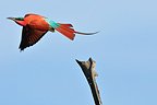 Flight of a Southern Carmine Bee-eater Bostwana (Southern Carmine Bee-eater)