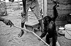 Men playing with a young orphan gorilla lowland Congo� (Western lowland gorilla )