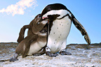 Jackass Penguin feeding its chicks South Africa (Jackass penguin)