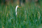 Great Egret in the tall grass Africa (Great Egret)