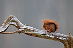 Red squirrel on a branch in a timber France (Eurasian red Squirrel )