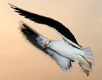 Backed Gull in flight in the Netherlands in spring (Baltic Gull)