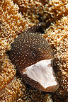 Portrait of Spotted Moray Reunion  (Speckled Moray eel)